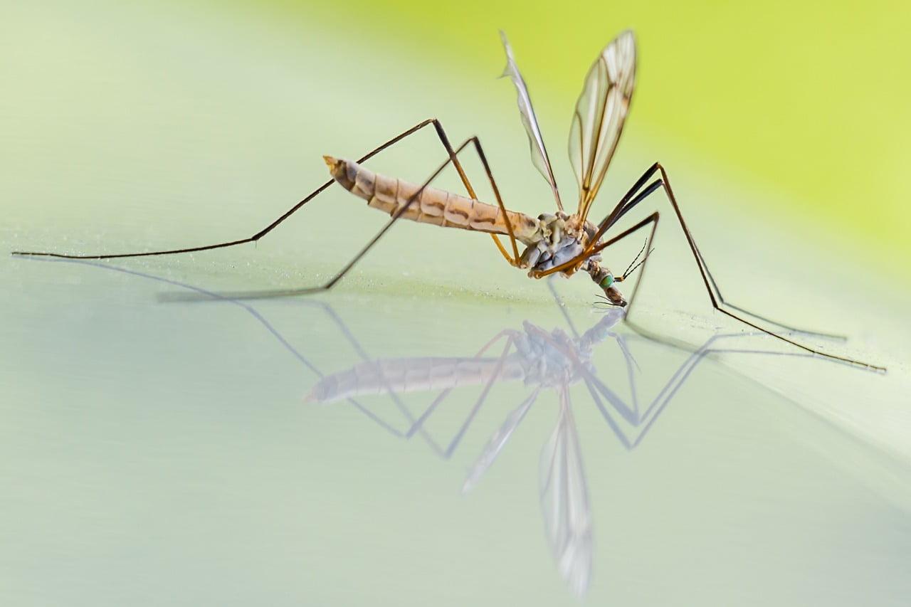 la zanzara ha un pene