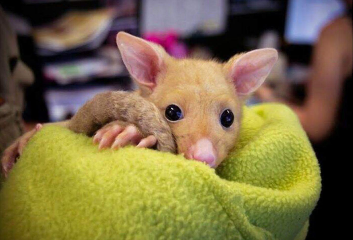 """""""Pikachù esiste!"""" trovato un rarissimo opossum dorato in difficoltà"""